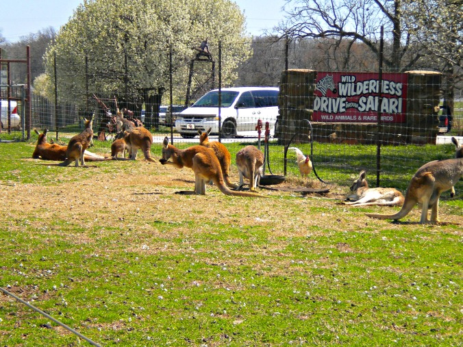 Best of the Midwest: Wilderness Drive-Through Safari